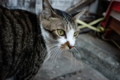 A shop cat prowls an alleyway looking for mice.